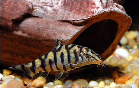 Botia Lohachata Pakistani Loach Betta Fish Care Community Fish Tank Cool Fish