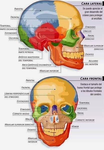Resultado de imagem para anatomia humana | penteados | Pinterest ...