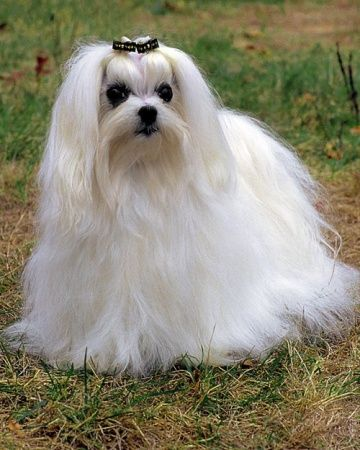 Even Though The Maltese Is A Very Small Dog They Tend To Be Brave