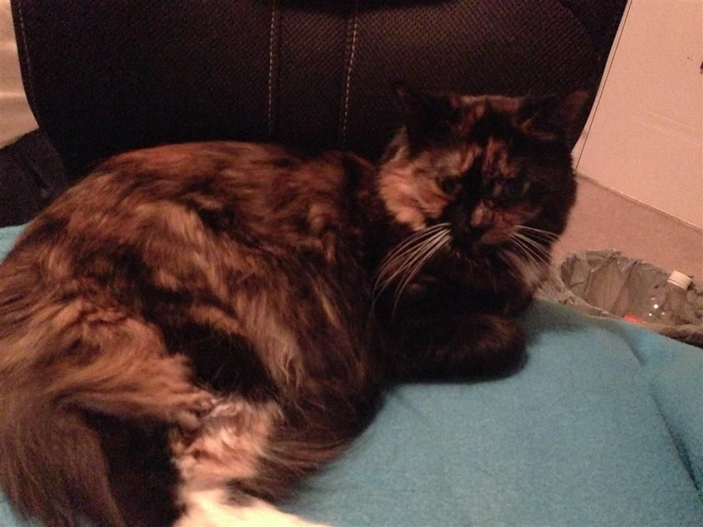 Lost Cat Female London On Canada N6h 5v9 Lost Cat Cats Losing A Pet