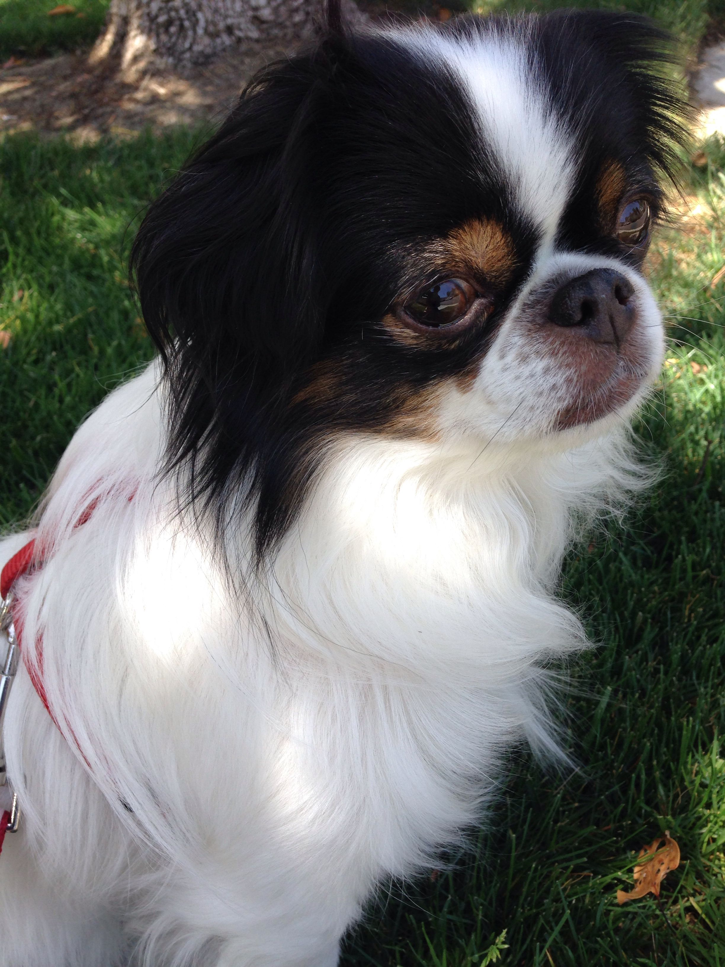 Pin by Mieko2 on Chins Japanese chin, Puppies, Dogs