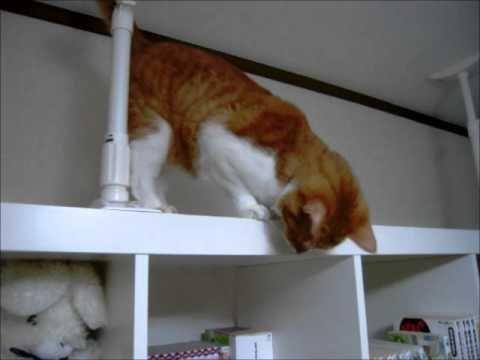 Trolling Cat Falls Down From Shelf