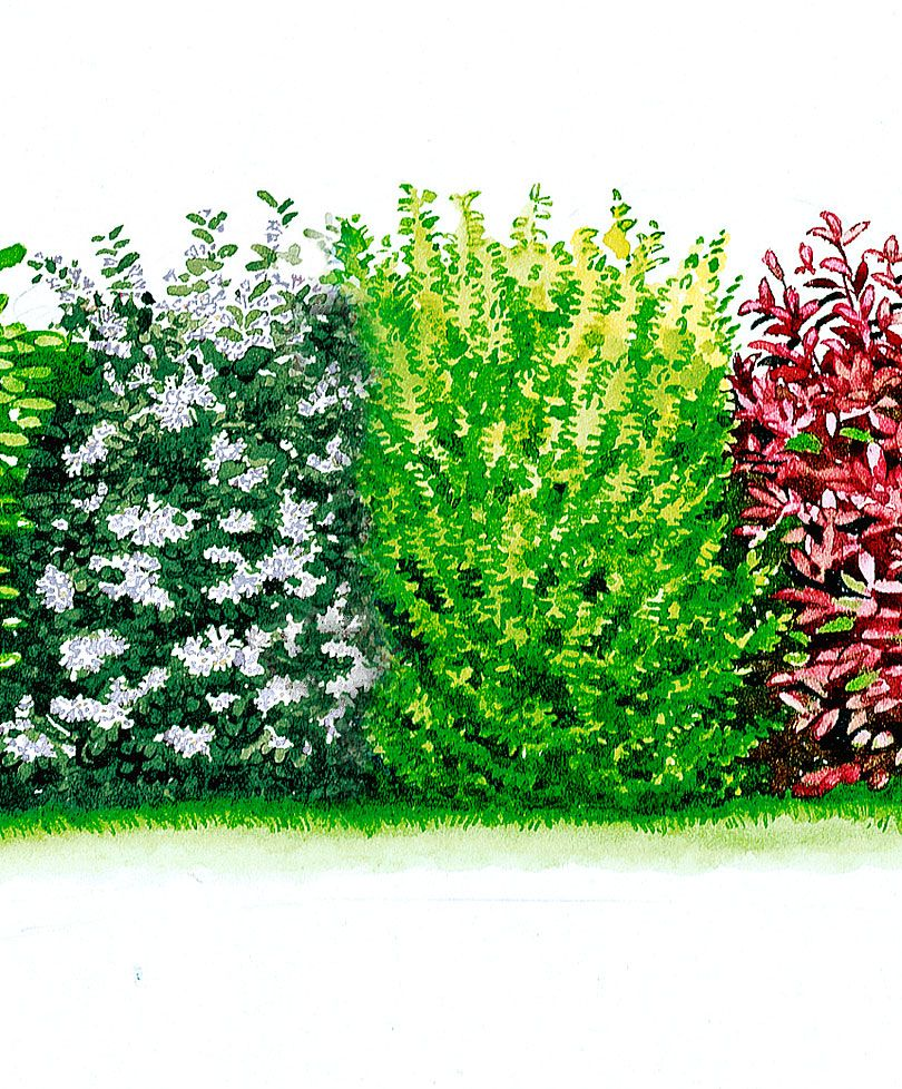 Blutjohannisbeere Hecke Evergreen Hedge Backyard Garden