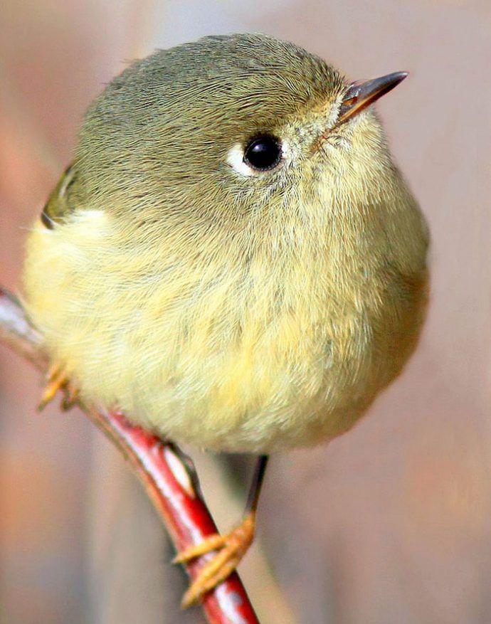 20 animales que son tan redondos que ¡parecen pelotas! Lo alucinarás