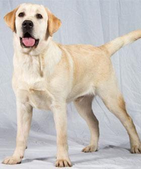 Most Popular Dogs Golden Retrievers Labrador Retriever Dogs Golden Retriever Retriever