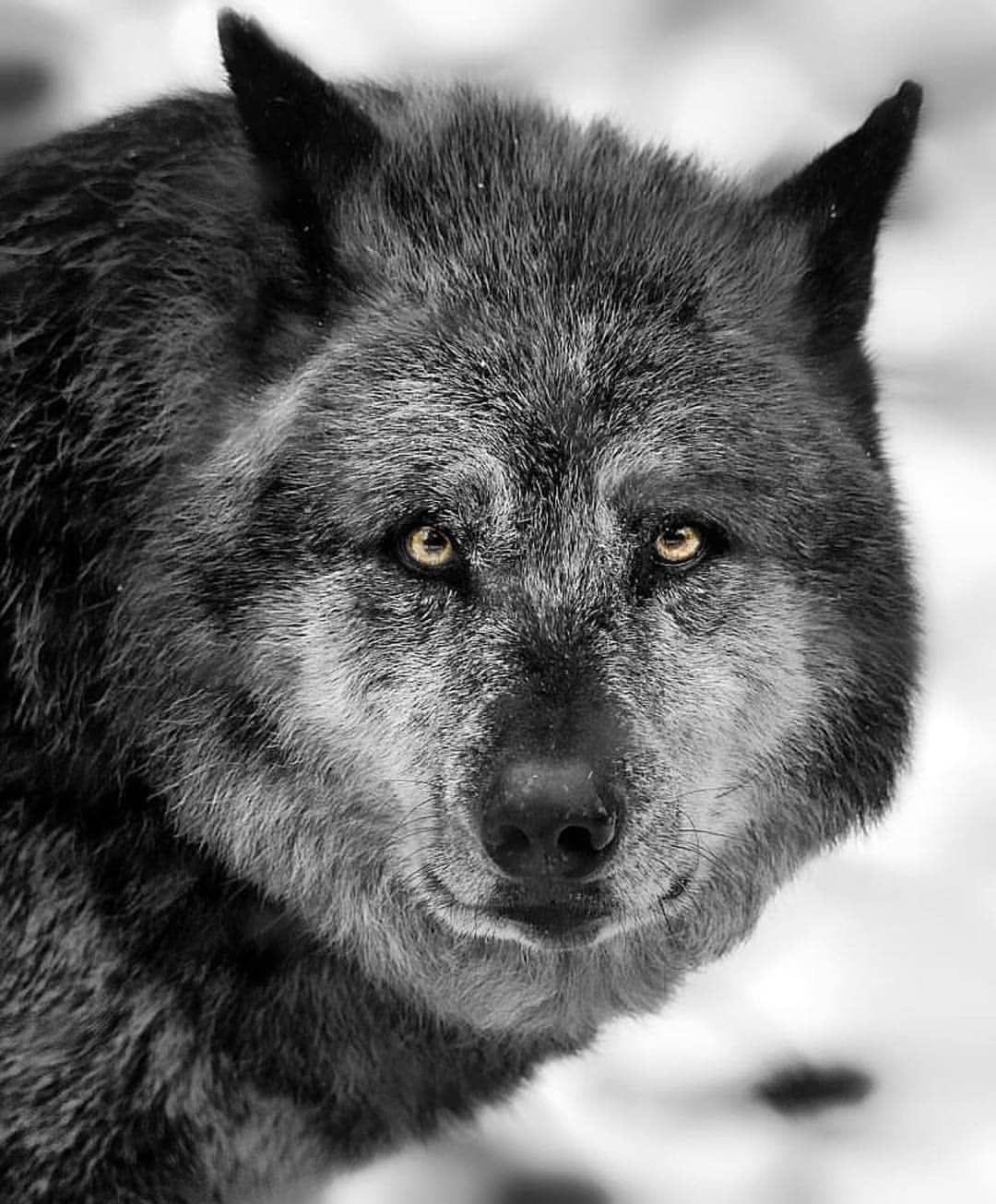 Yellow eyes #wolf #wolfmoon #wolvesofinstagram #wolves # ...