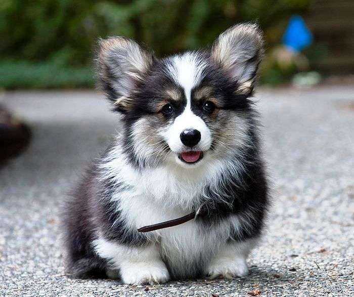 Adorable Corgi Puppy Wilde Tiere Haustiere Haustiere Kaufen