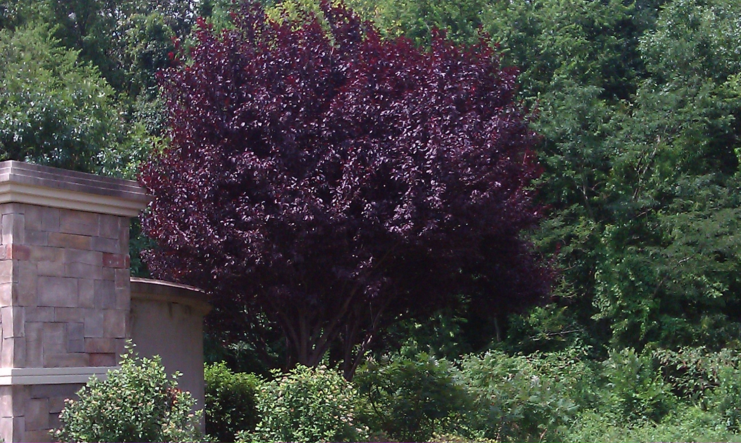 Trees With Burgundy Leaves Share Landscaping Inspiration