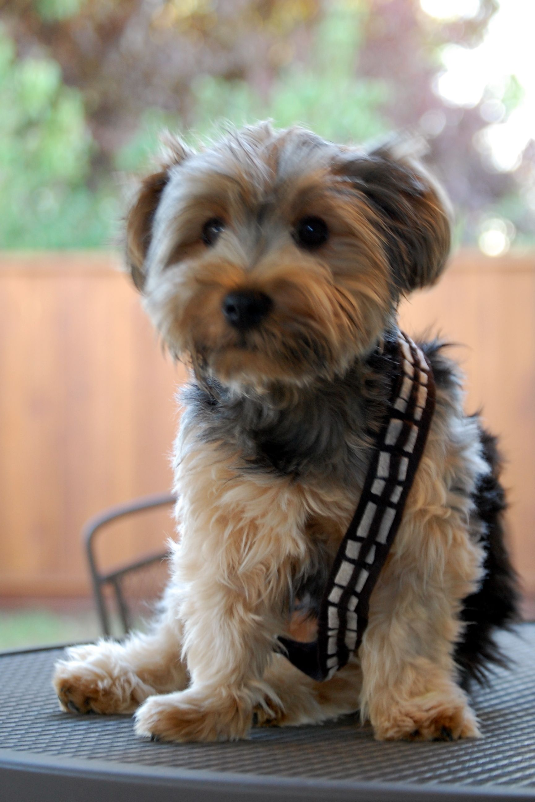 My Dog Chewbacca A Wookie Youngling Silky Terrier