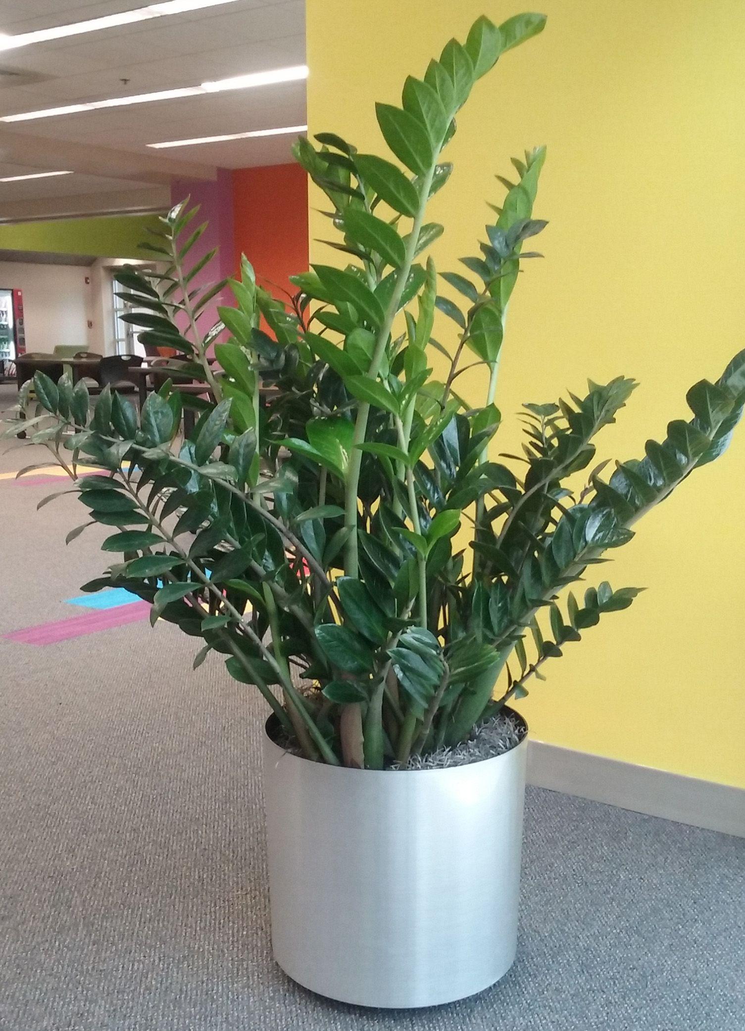 Zz Plant Zamioculcas Zamifolia On One Of My Interior Landscape