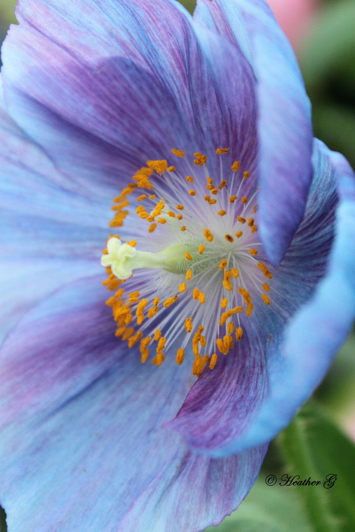 Blue Poppy By Casper1830 Flowers Breathtaking Pinterest