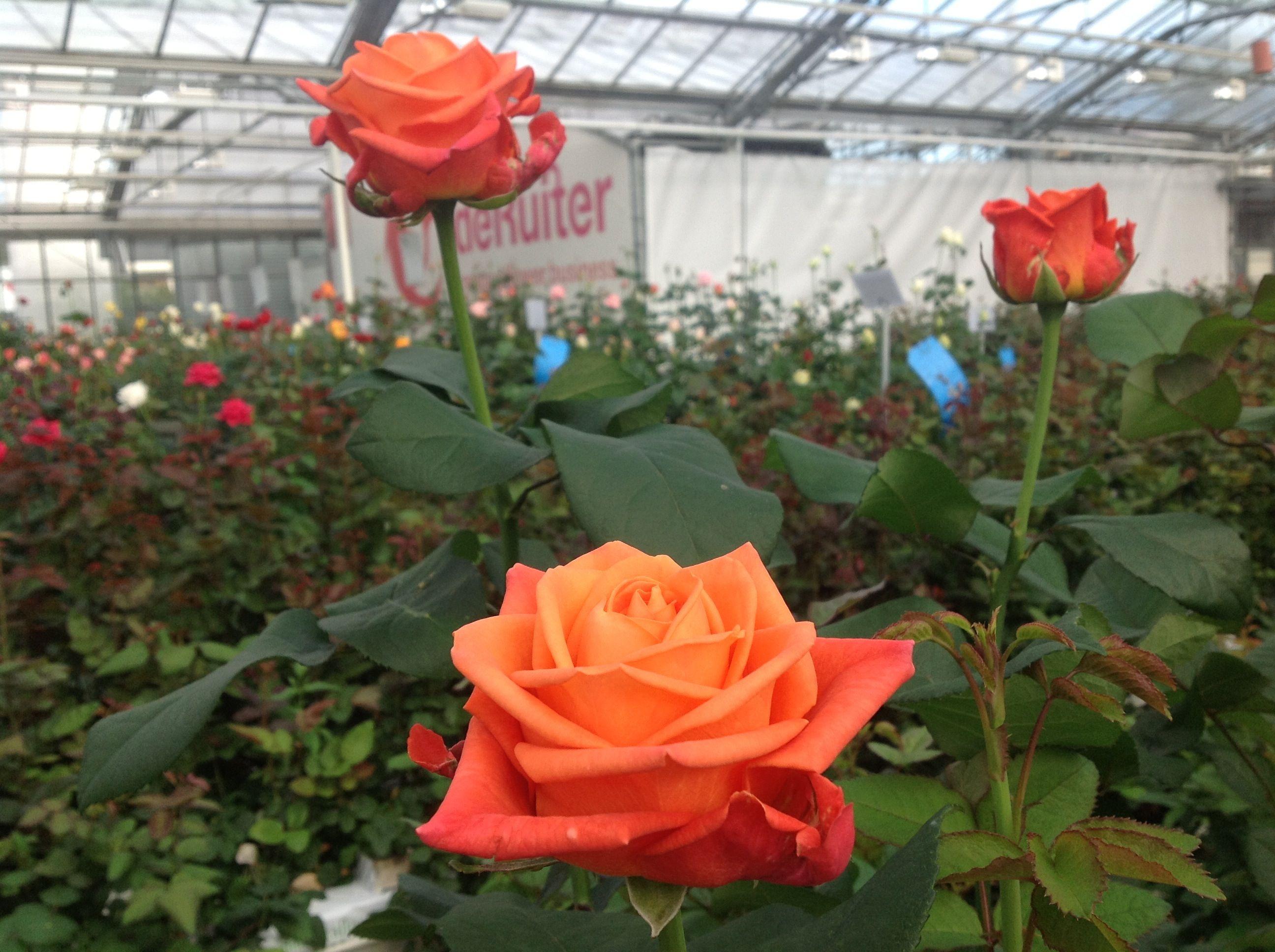 A new orange rose variety named orange crush orangeroses orange flowers pinterest rose - Rose cultivars garden ...