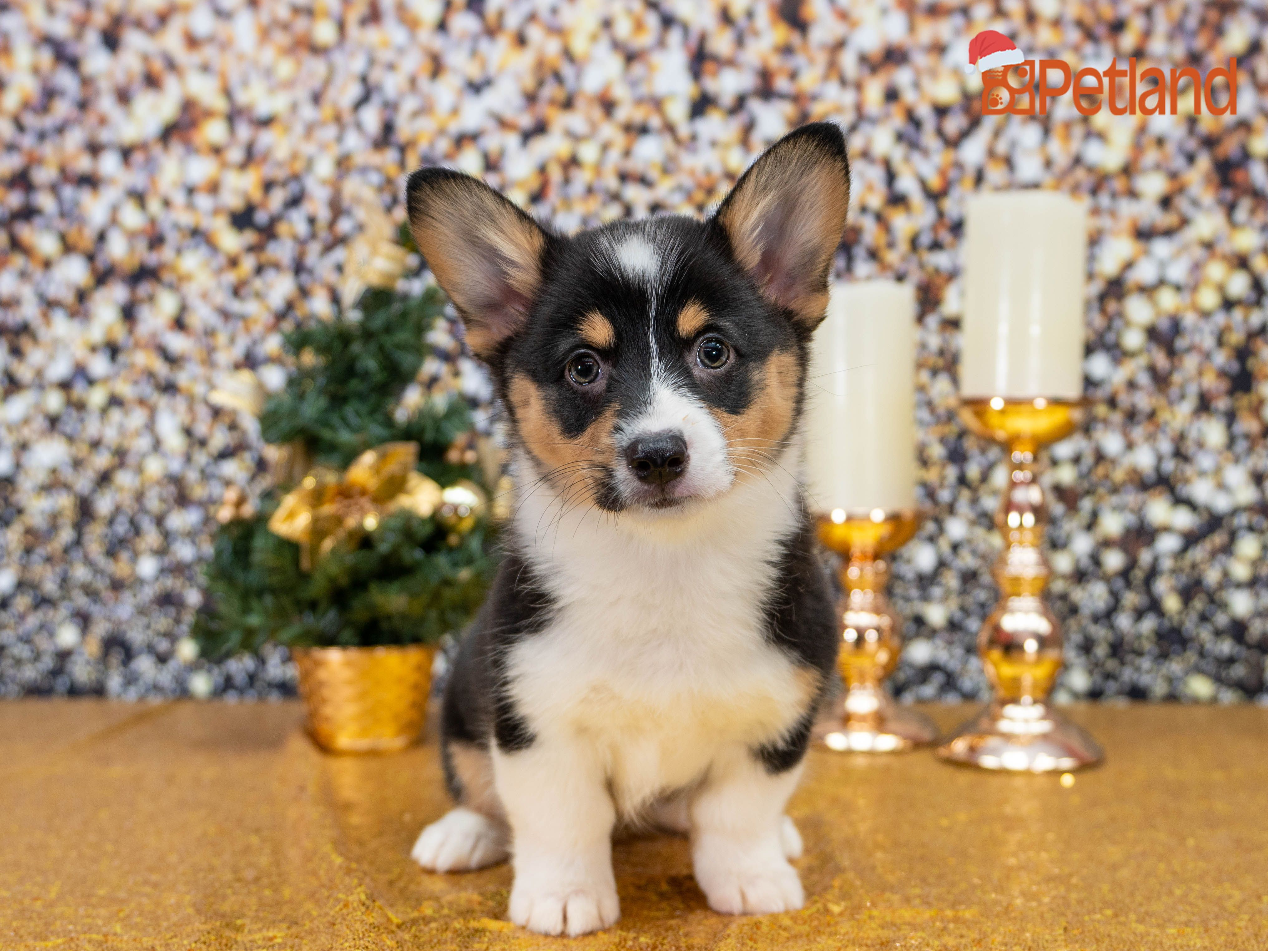 Puppies For Sale Corgi Puppies For Sale Corgi Pembroke Welsh Corgi Puppies