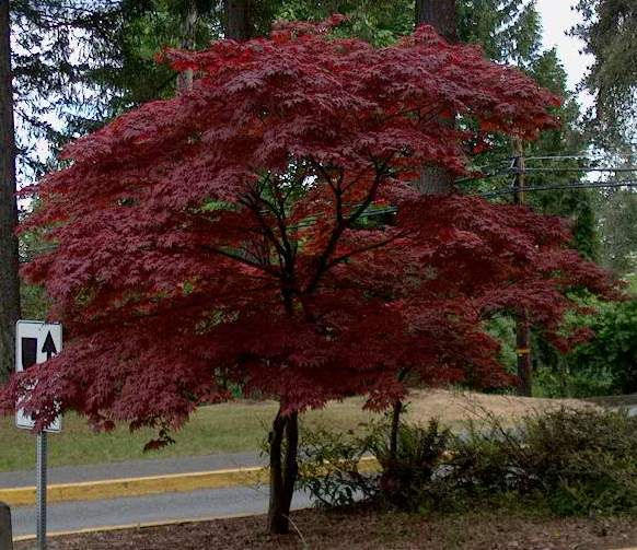 Japanese red maple for Maple trees for small gardens