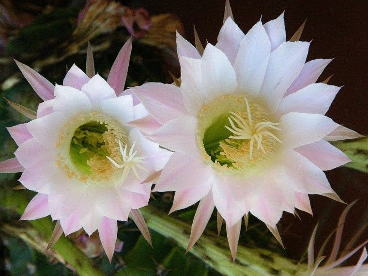 Cactus-con-flores-blancas.jpg
