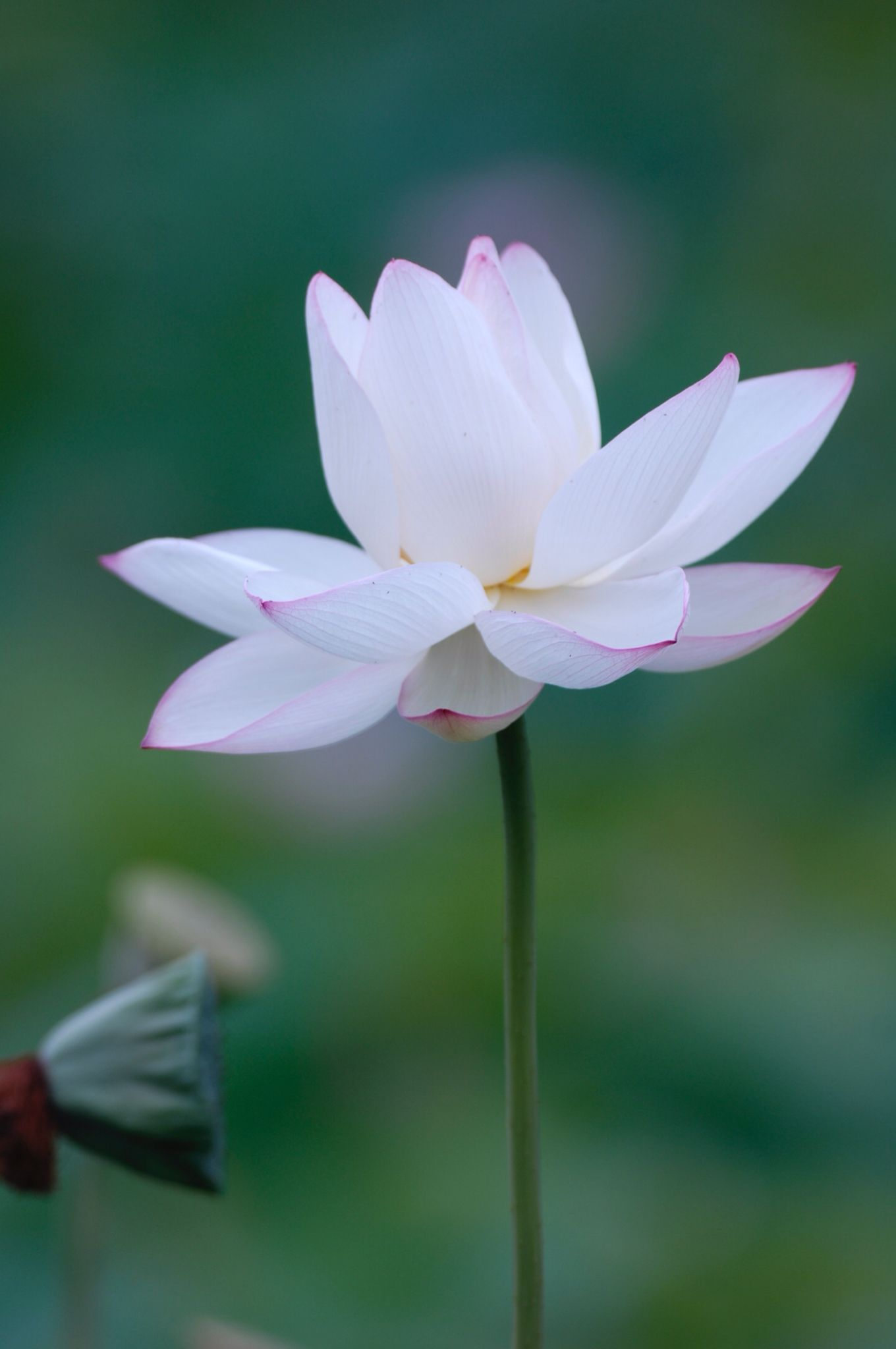 Pin By Shirle Hsu On Lovely Pinterest Lotus Flowers And