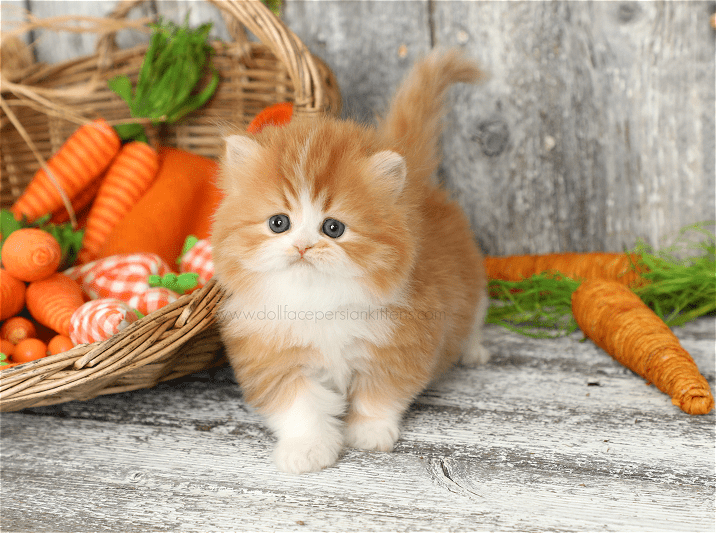 Red White Persian Kittens For Sale Persian Kittens Persian Kittens For Sale Kittens