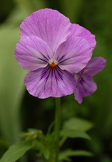 Beautiful Lavender Pink Pansy Flower Pansies Flowers Summer Flowers Garden Pansies