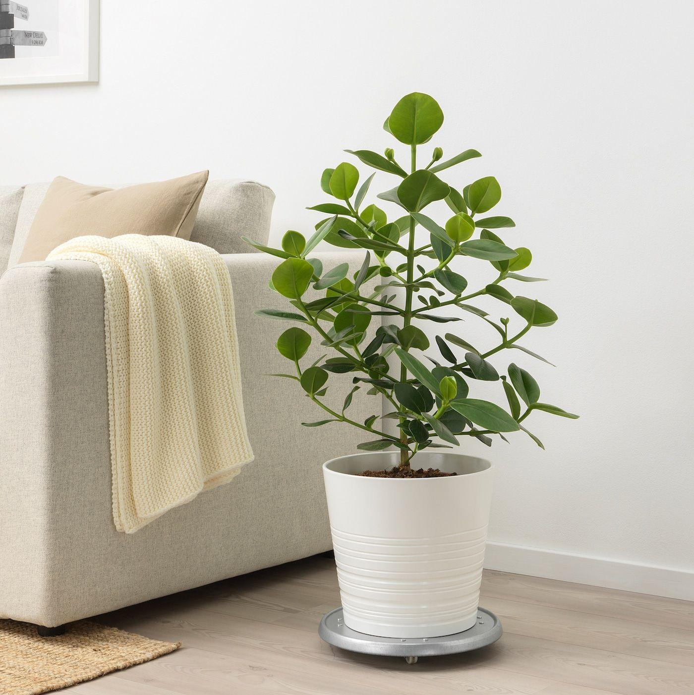 IKEA CLUSIA Pflanze