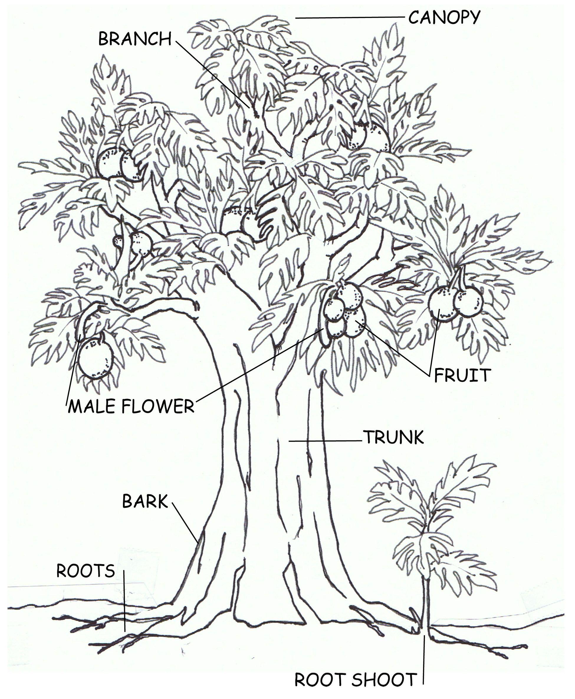 http://ntbg.org/breadfruit/resources/cms_uploads/Ulu_tree ... Breadfruit Tree Drawing