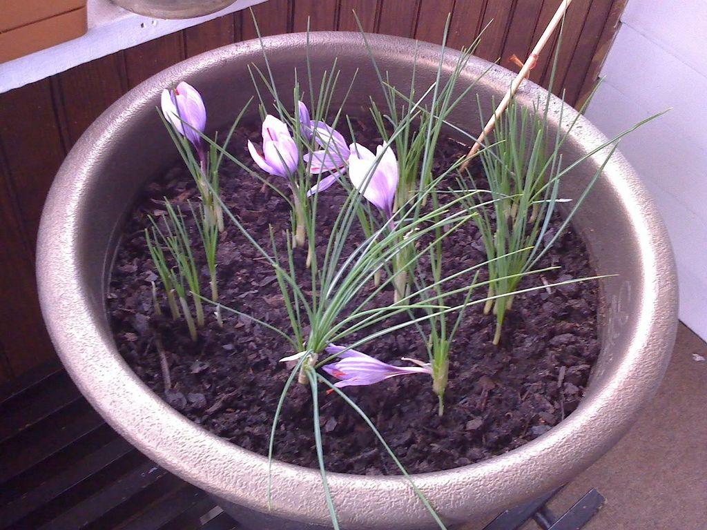 Growing Saffron Indoors: Care Of Saffron Crocus In The ...