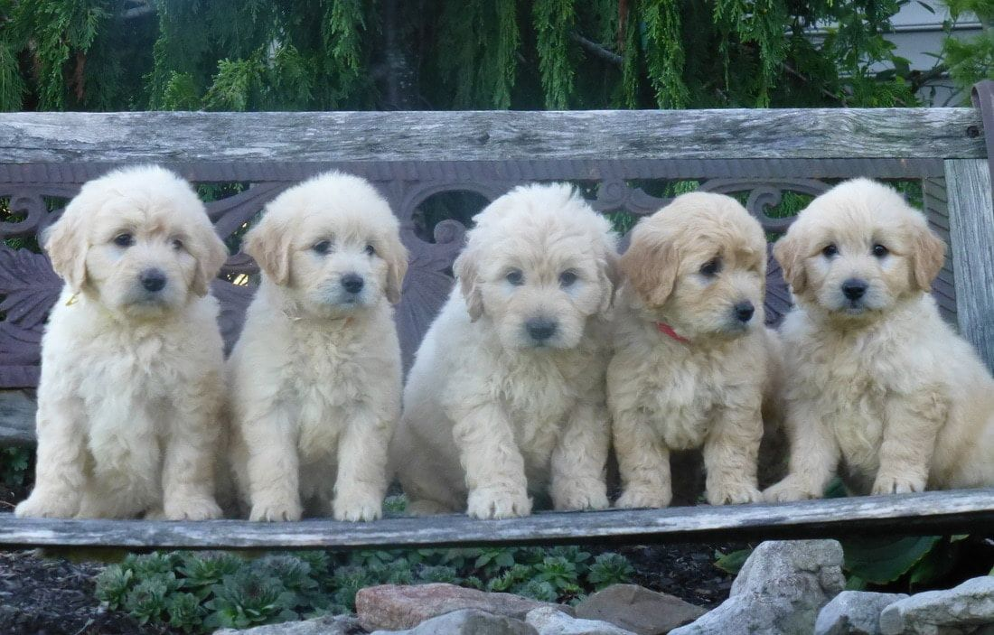 Our Mission At Norwood Golden Doodles Is To Provide Our Customers With Healthy Genetically Tested Family Centere Goldendoodle Labradoodle Breeders Dog Breeds
