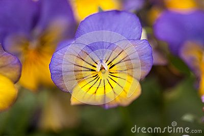 Pansy Flower Close Up Stock Photos, Images, & Pictures – (464 Images)