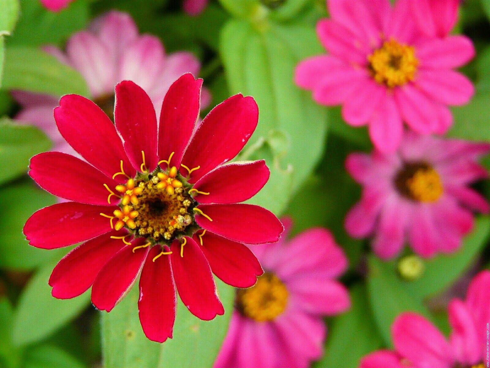 Pin by sahhouma abdellaoui on fleurs pinterest flowers flowers izmirmasajfo