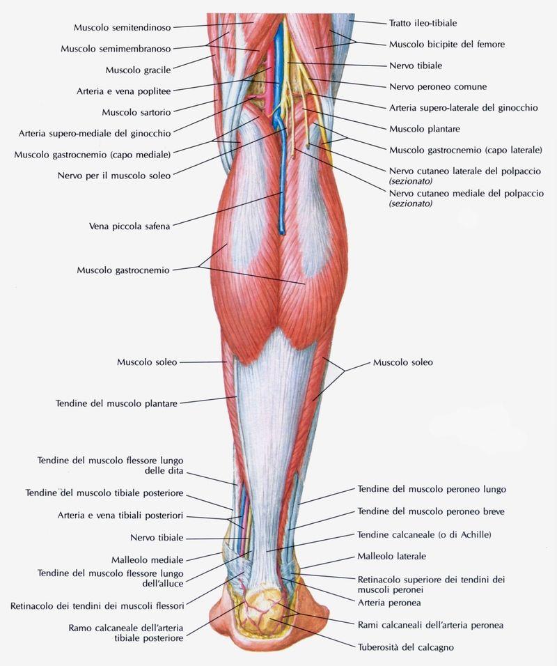 Il muscolo plantare è uno dei due muscoli posteriori dello strato ...