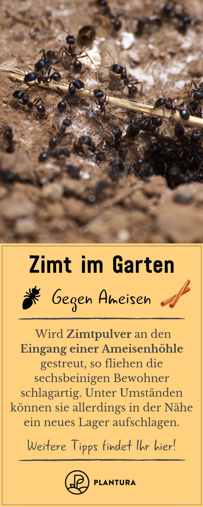 Zimt Im Garten Ein Sinnvoller Pflanzenschutz Ameisen Im Hochbeet Ameisen Im Garten Mittel Gegen Ameisen