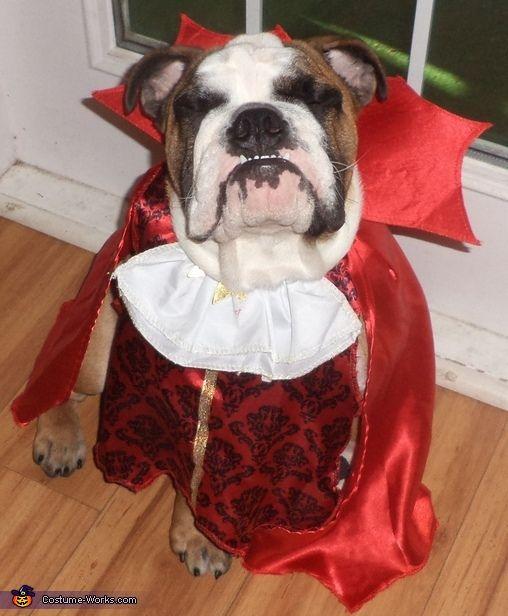 Vampire Bulldog Halloween Costume Contest At Costume Works Com