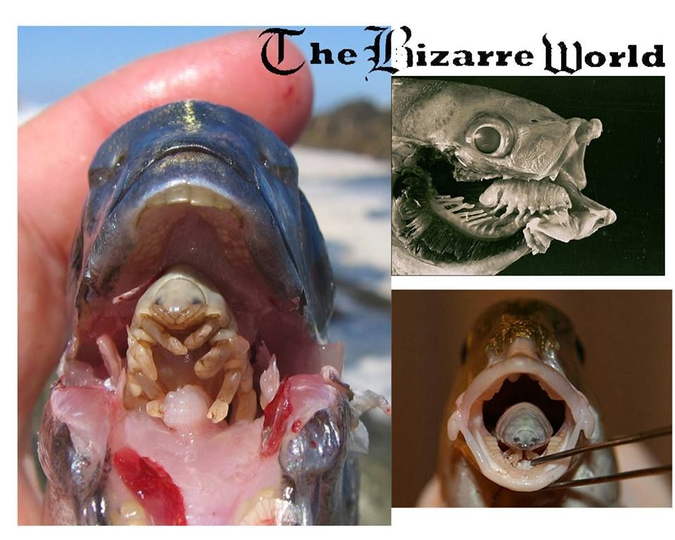 Cymothoa exigua replaces the fish 39 s tongue also for Parasite that eats fish tongue