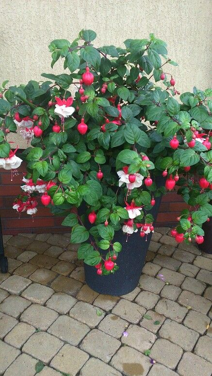 Fuksja Ma Jadalne Owoce Plants