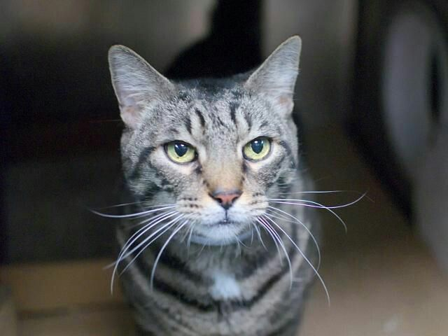 HOPE - A1113135 - - Brooklyn  *** TO BE DESTROYED 06/10/17 *** A volunteer writes: Hope is a dignified gentleman who needs a home where he can relax. He can be slightly reserved at first, but this adorable tabby appreciates human company and purrs and purrs when you pet him, pressing his cute stocky head into your hand. 12 year old HOPE lost his home due to housing issues – needs a new retirement home now! -  Click for info & Current Status: http://nyccats.urgentpod