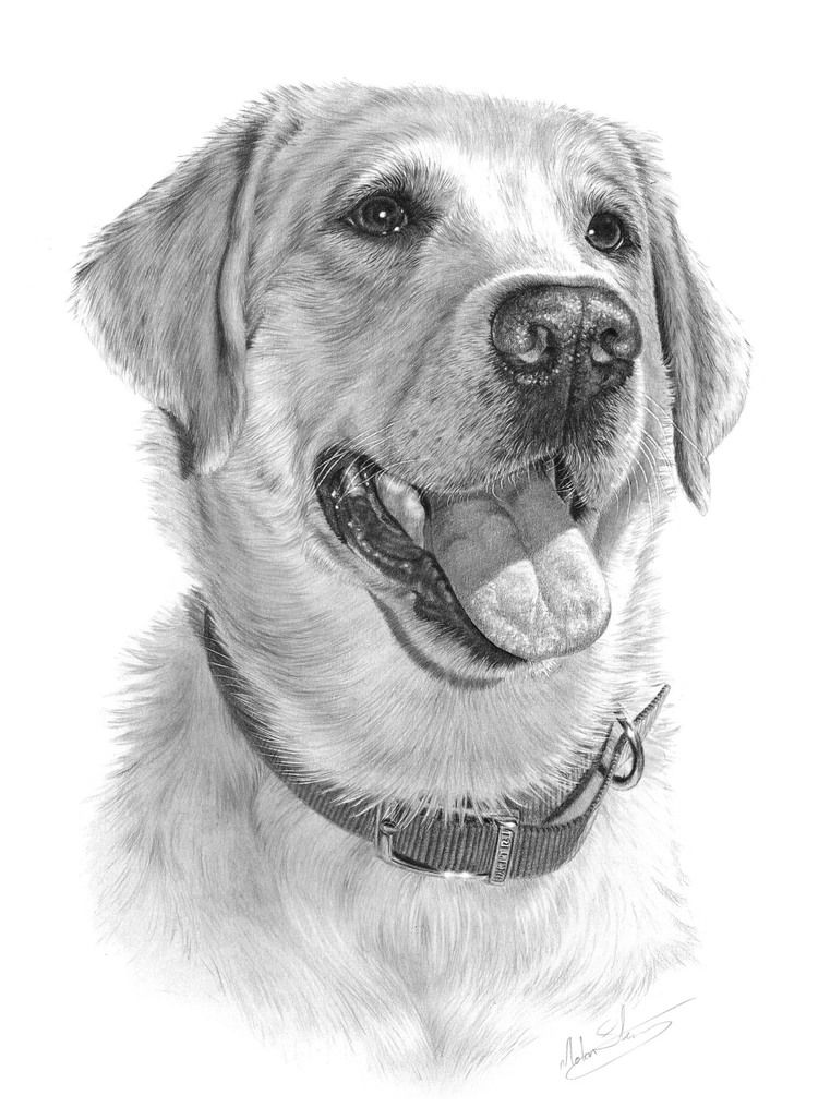 Drawings Realistic Golden Colored Retriever Puppy