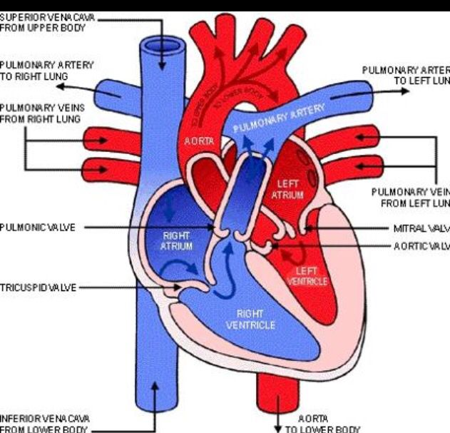 Pulmonary Circulation Medical Pinterest