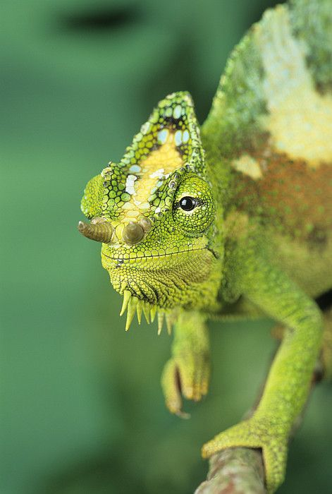 Cameroon Bearded Chameleon Just like my sweet Amazu Ghedi❤