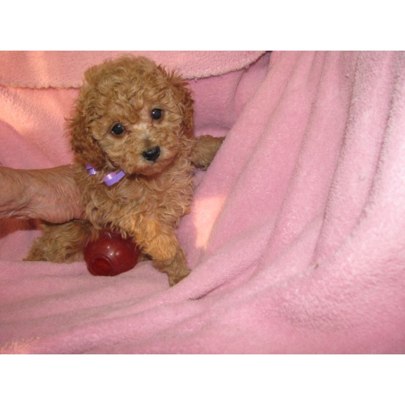 Puppies For Sale Toy Poodles In Auburn New York Toy Poodle