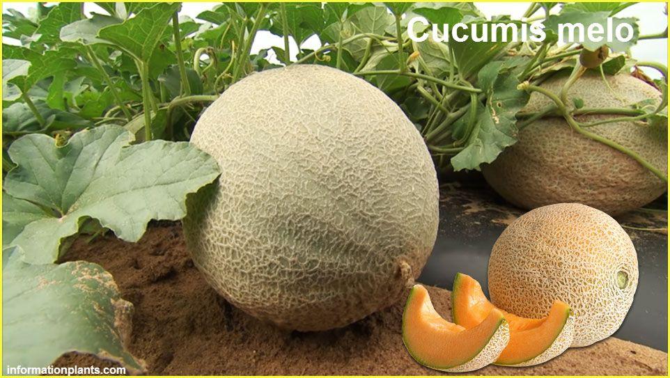الشمام اوالسويهلة اوالقاقون او البطيخ الاصفر Cucumis Melo قسم الفواكه النبات معلومان عامه معلوماتية Fruit Cantaloupe Food