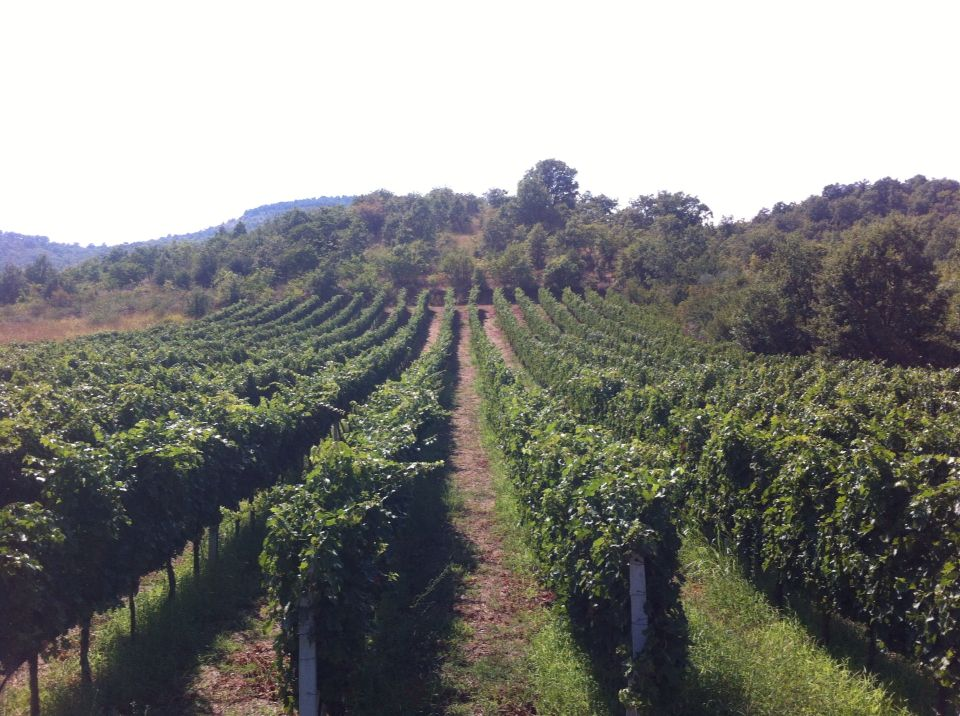 Kontozisis organic vineyard Greece