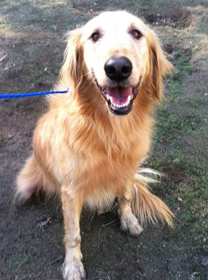 This Is Aubrey 5 Years Old Adoptable Golden Retriever Dog She