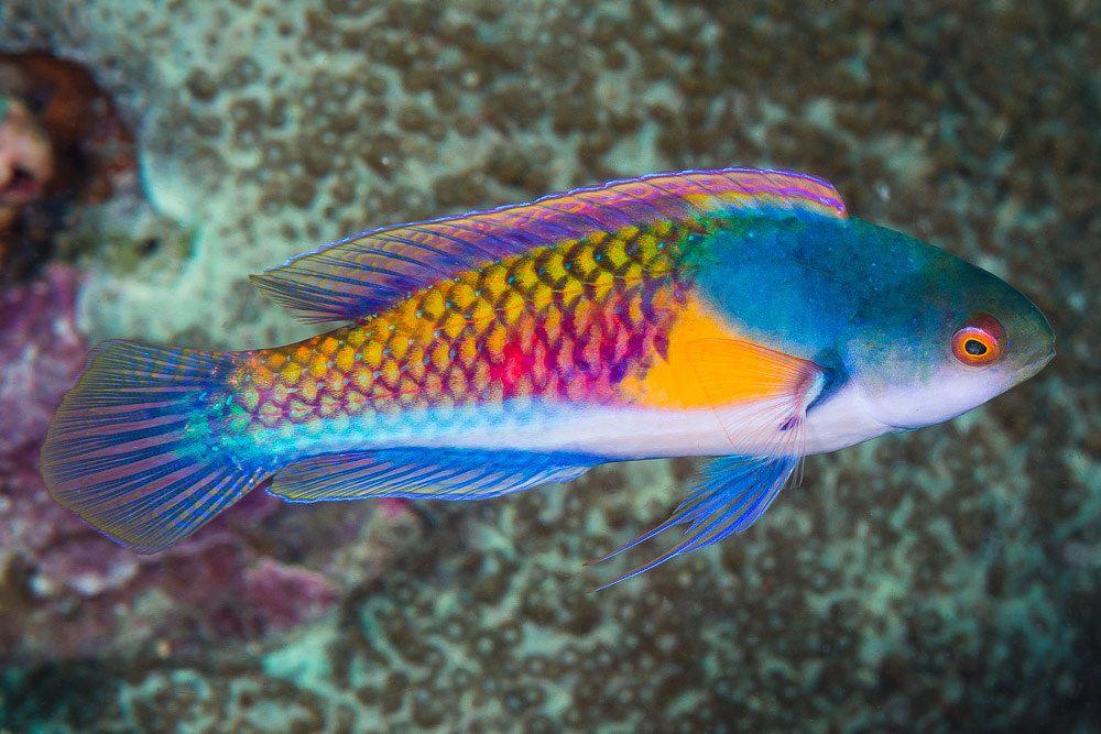Yellowflanked Fairy Wrasse Terminal Phase Cirrhilabrus Ryukyuensis Saltwater Fish Tanks Beautiful Sea Creatures Marine Fish