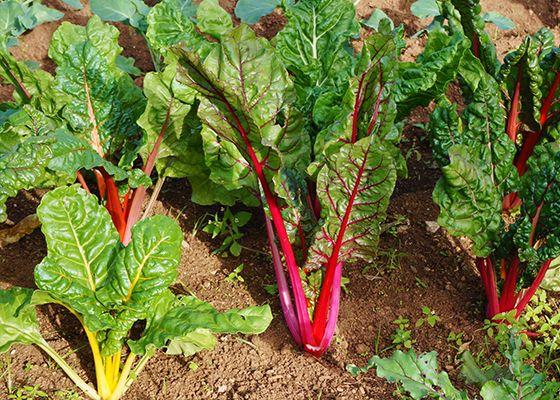 5 Veggies To Plant In Autumn Plants Veggie Garden 400 x 300