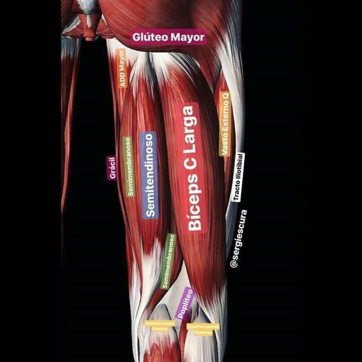 Músculos posteriores del muslo | Anatomia, Fisiología, Biología ...