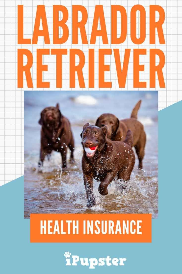 What Is The Cost Of Insuring Labrador Retrievers Dog Health