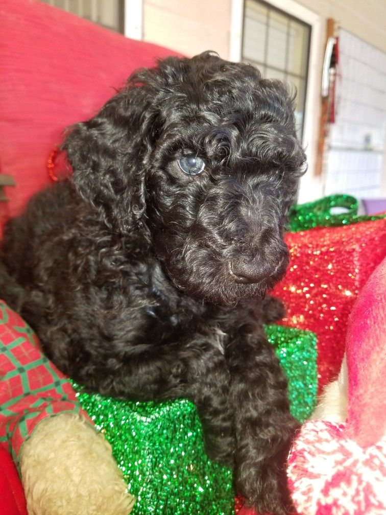 What a face a 8 week old Standard poodle  From Emerald Coast