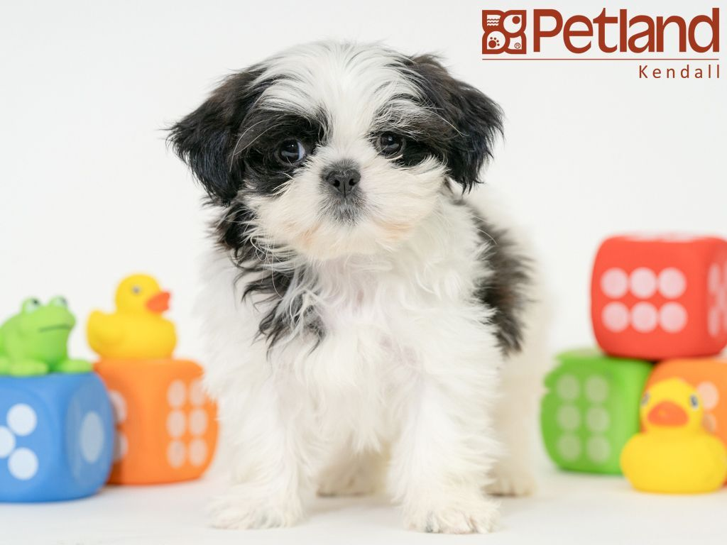 Petland Florida Has Shih Tzu Puppies For Sale Check Out All Our Available Puppies Shihtzu Petlandkendall Petland Puppy Friends Shih Tzu Puppy Shih Tzu