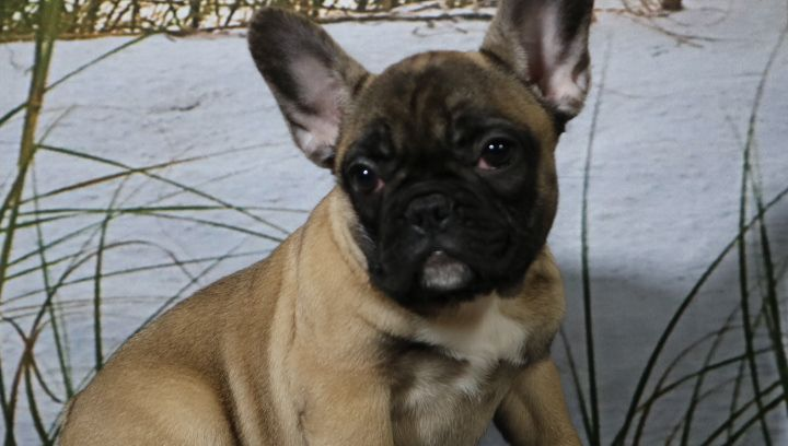 Gracie A Female Akc French Bulldog Puppy For Sale In Nappanee