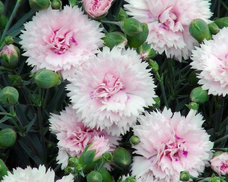 Dianthus plumarius - Spalvu neļķe | Perennials | Pinterest ...