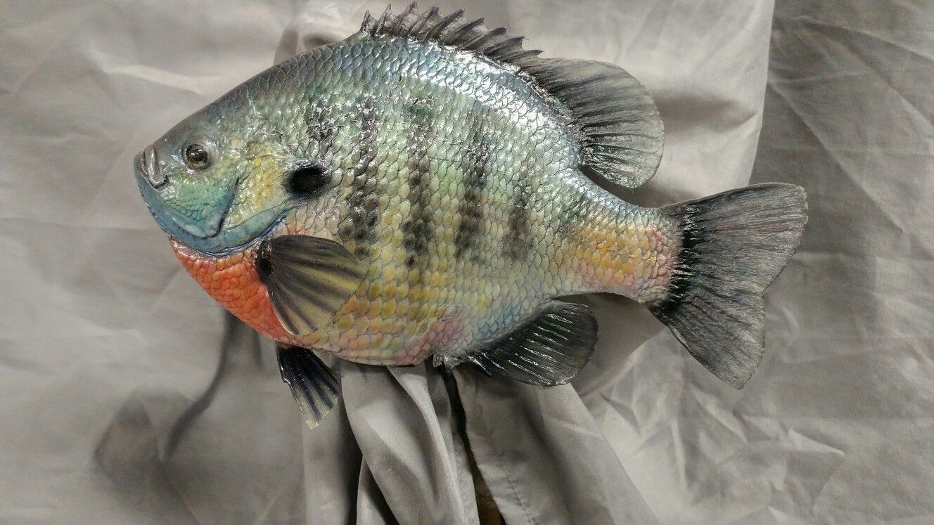 Pin by jim alden on fish taxidermy pinterest for Fish taxidermy prices